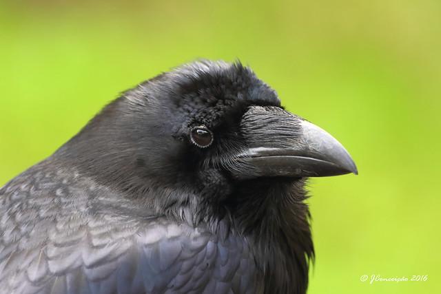 Corvo - Corvus corax - Raven