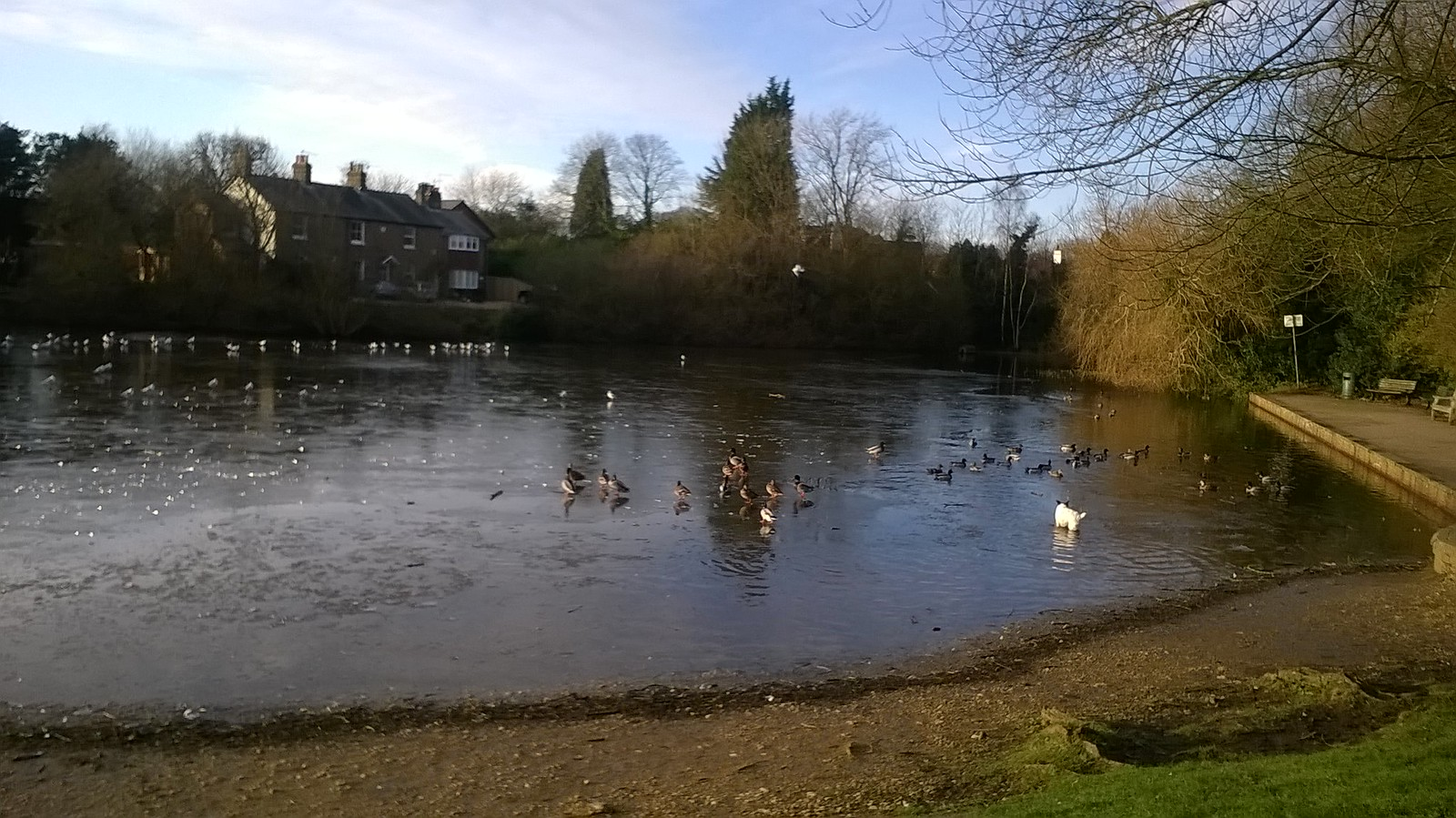 ICY POND FOR DUCKS _ OR DOGS! MERE< SURREY