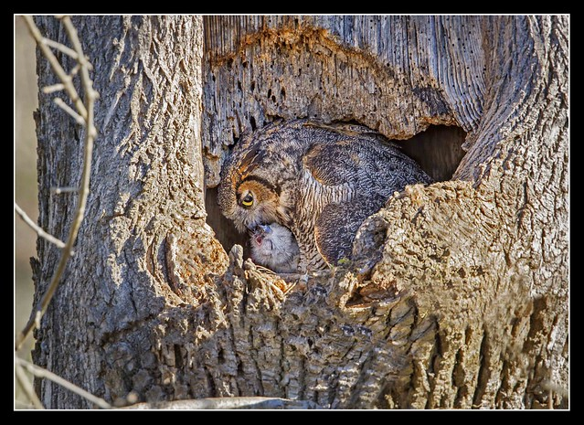 Attentive Mother Owl