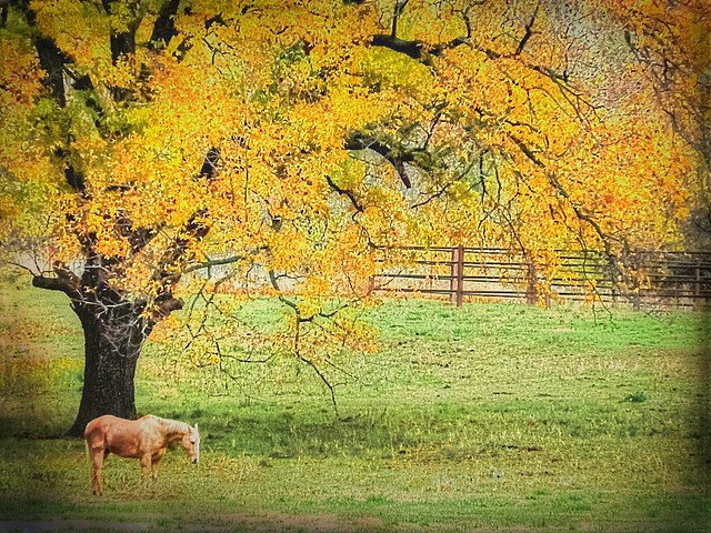 Horse Under Pecan Tree