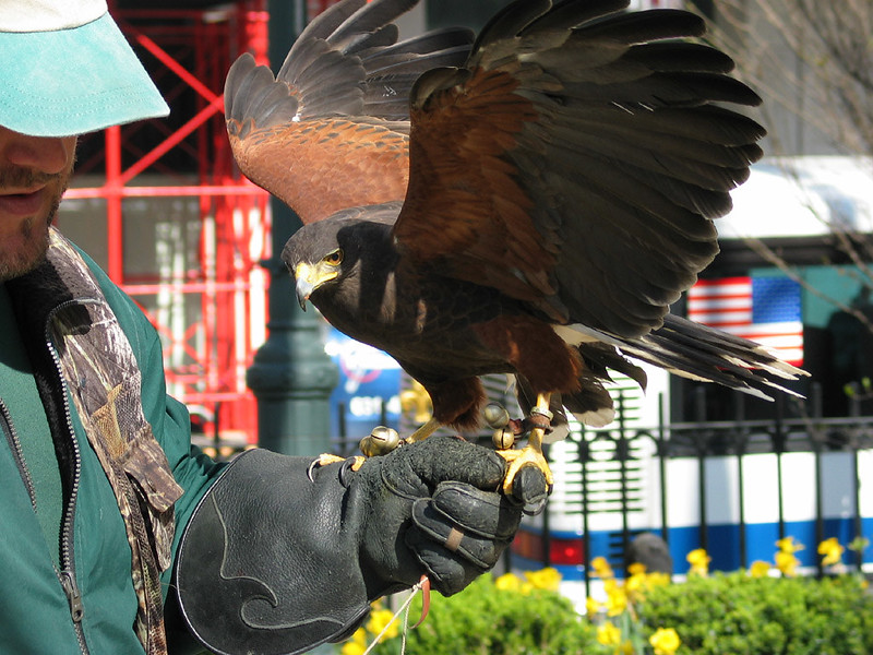 Hawk on mission to annoy pigeons in Union Square