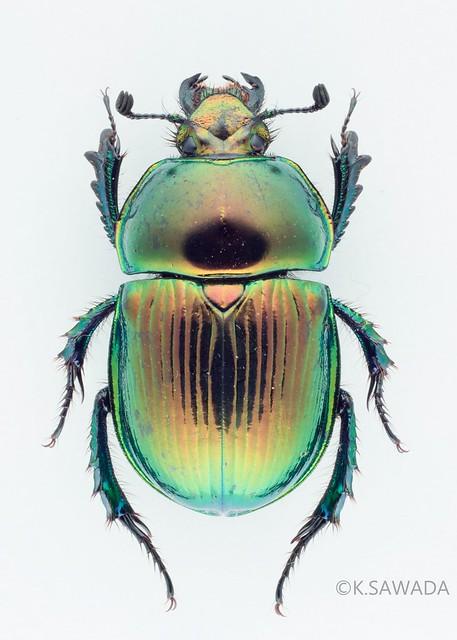 オオセンチコガネ名義タイプ亜種 Phelotrupes(Chromogeotrupes) auratus auratus (Motschulsky,1857) 富山県産-3