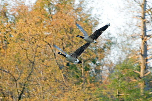 Photo of Canada geese in flight