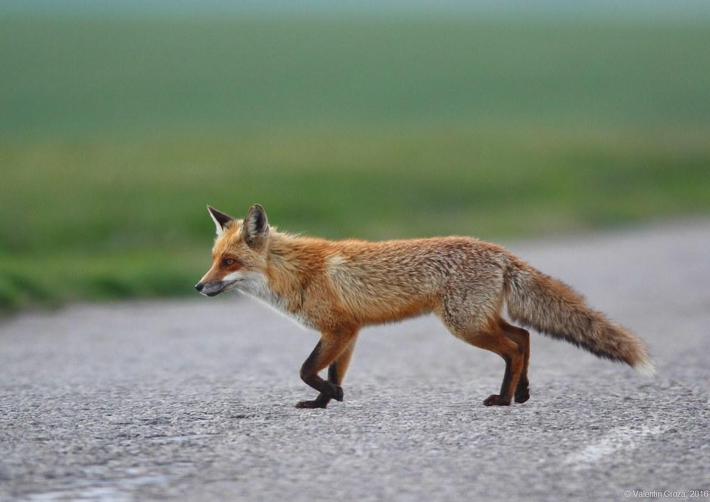 wild red fox 3