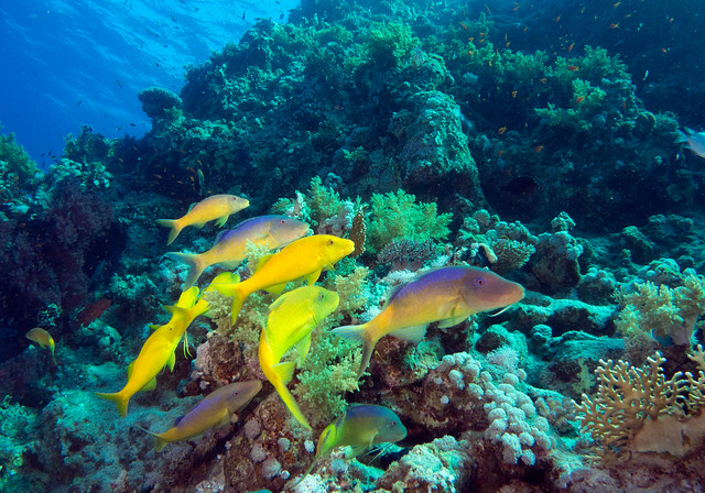 Yellow Saddled Goatfish, Parupeneus cyclostomus, Jackfish Alley, Red Sea, June 2015