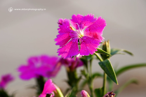 A Pink Flower | by Akbar - Web Designer and Freelance Photographer