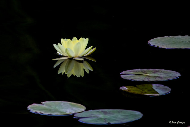Water Lily 睡蓮 スイレン