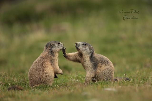 Marmottons, Marmottes des Alpes ( Marmotta, marmotta ) Alpine marmot #1186