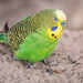Budgerigar - Photo (c) Joseph j7uy5, some rights reserved (CC BY-NC-SA)