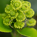 Trochodendron aralioides inflorescence by dogtooth77