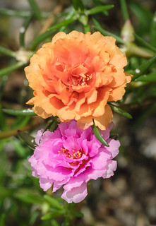 "Moss Rose/Rock Rose ""Portulaca grandiflora"" | by esmerelda25"