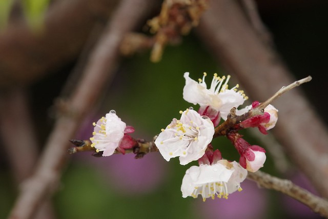 杏の花 雨模様 (Rainy, Flowers of apricot.)