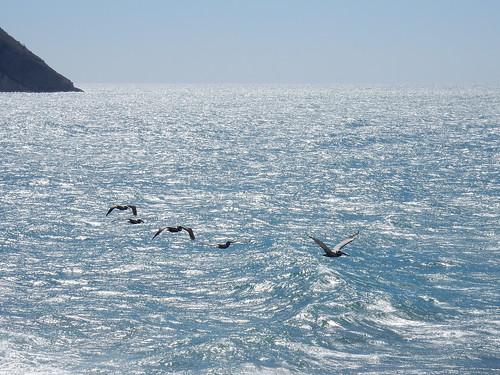Mazatlan -pelikanen