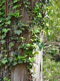 starr-090408-5647-Hedera_helix-climbing_up_trees-Olinda-Maui | by Starr Environmental