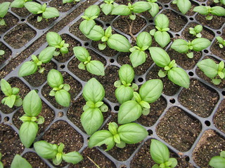 starr-120608-7314-Ocimum_basilicum-seedlings-Ulupalakua_Ranch-Maui | by Starr Environmental