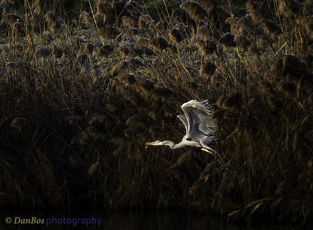 Grey Heron (Ardea Cinerea) in a winter morning at Comacchio Lagoon