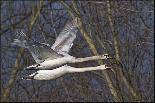 Mute Swans Cygnus olor 7D2_5255 | by psmithuk