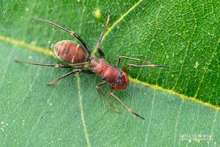 Ant-mimic jumping spider (Myrmatheca alticephalon) - DSC_6044