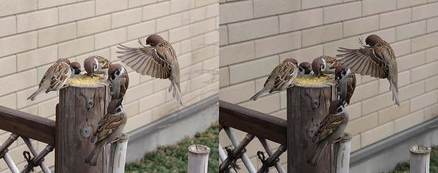 Eurasian tree sparrows, stereo parallel view