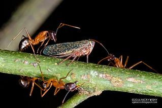 Leafhopper (Coelidiini) - DSC_6490