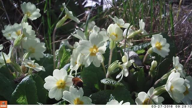 Bee on primroses