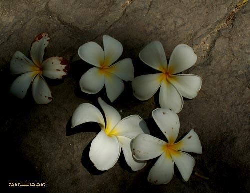 whiteflower2