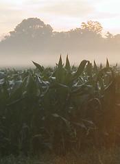 early morning corn 2