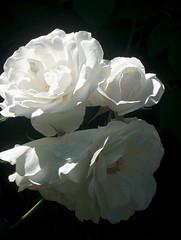 rose, 19 juin 2005