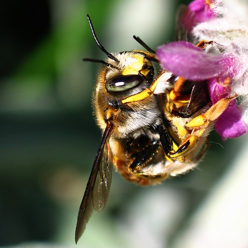 Mating Wool Carder bees on Lamb's ear