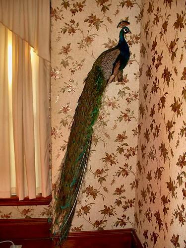 peacock 002