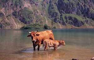 vaca casina somiedo