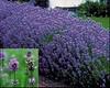 lavendar augustifolia