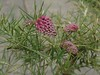 Grevillea confertifolia