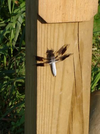 dragonfly-v
