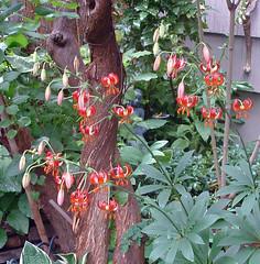 species lilies 2