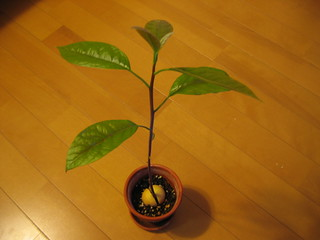Avocado Growing Project #14   by skyseeker