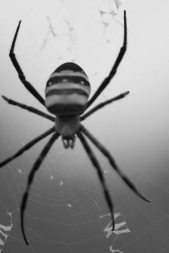 Spider b&w