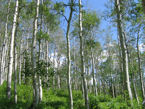Birch Trees | by saaby