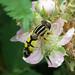 Helophilus trivittatus (Large Tiger Hoverfly)