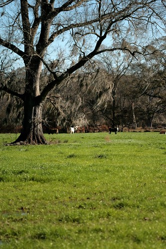 winter tree nature landscape louisiana cows pasture spanishmoss mrgreenjeans gaylon centrallouisiana gaylonkeeling
