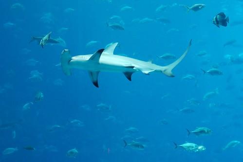 Georgia Aquarium - Hammerhead Shark | Josh Hallett | Flickr