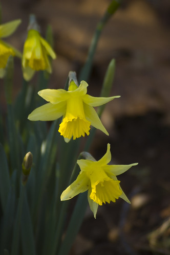 Daffodils 1 | by RandomConnections