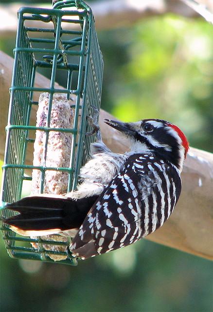 Male Nuttall's Woodpecker back again