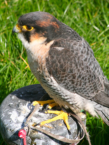Peregrine Falcon at Chew Valley | This fast flying ...