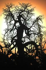 mango tree under the setting sun | by Julien Falissard