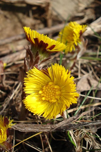 Colt's Foot | by Mon@rch