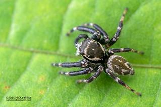 Jumping spider (Carrhotus sannio) - DSC_3835