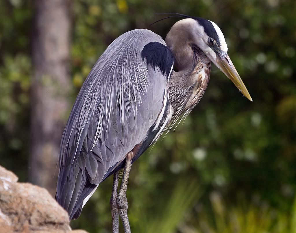 Great Blue Heron bird - Gatorland Orlando Florida