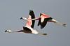 Andean Flamingos by owilybug