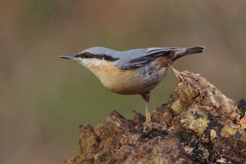 bird nature woodland suffolk wildlife reserve trust nuthatch lackfordlakes